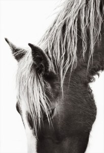 Sable-Island-Wild-Horses-Drew-Doggett-Whisper-600x880